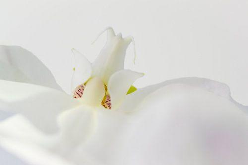 Witte orchidee, detailopname