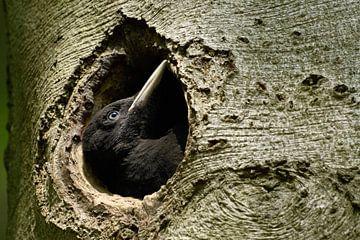 Schwarzspecht ( Dryocopus martius ), junges Weibchen, duckt sich in Nisthöhle, wildlife, Europa. von wunderbare Erde