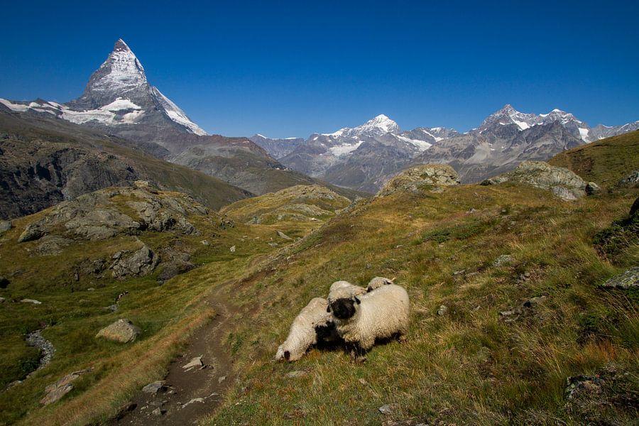 Bergschapen lopen in het Zwitserse landschap voor de Matterhorn  van Paul Wendels