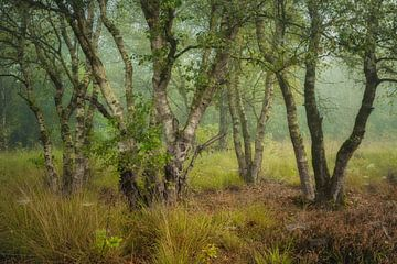 Birkenwald im Nebel von Peter Bolman