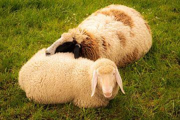 Zwei Schafe kuscheln liegend im Gras im Frühling mit voller Wolle von Dieter Walther