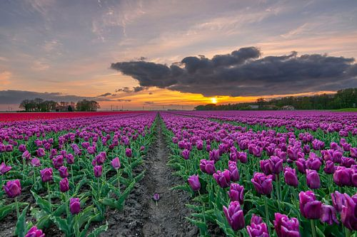 Tulpenveld Flevopolder