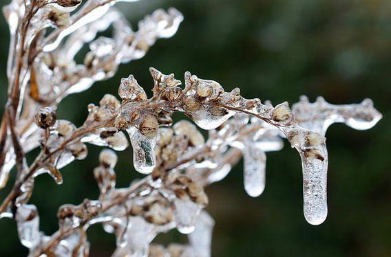 Bevroren bloemen in de winter (vorst).