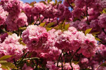 Prunus serrulata in der Frühlingssonne von Joran Quinten