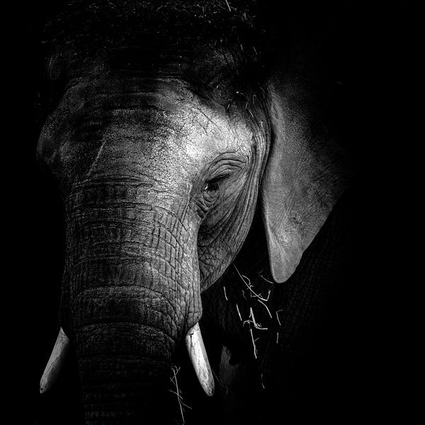 Elefant von Jon Geypen