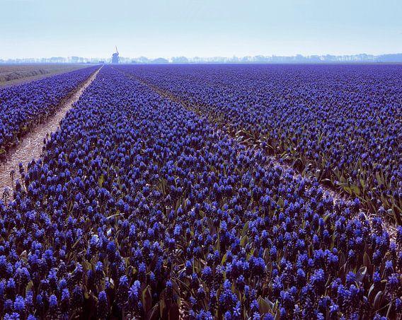 Oneindig veel blauwe druifjes van Rene van der Meer