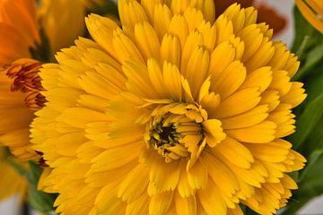 Macrofotografie van een gele goudsbloem in de bloei van J..M de Jong-Jansen
