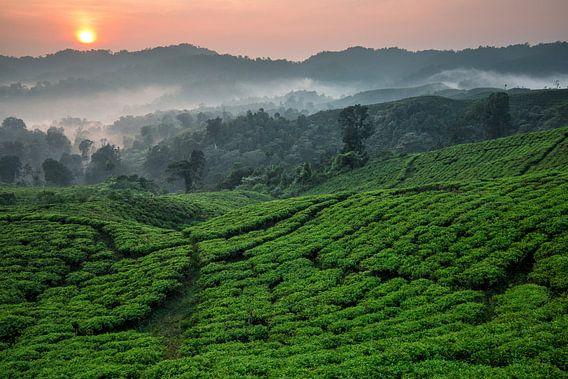 Theeplantage Nirmala Tea Estate - West-Java, Indonesië