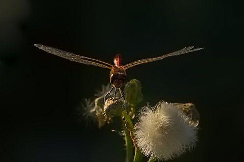 Bloedrode heidelibel op een uitgebloeide bloem