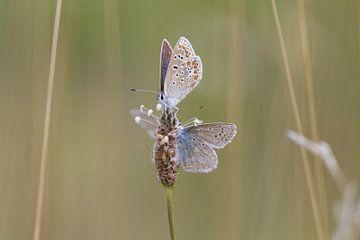 Vlinder sur t de bruin