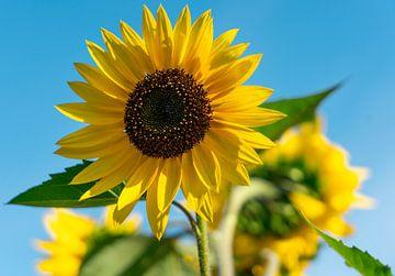 Sonnenblume von Marjon Boerman