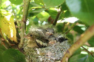 Jonge vogeltjes in hun nest van Petra Van Hijfte