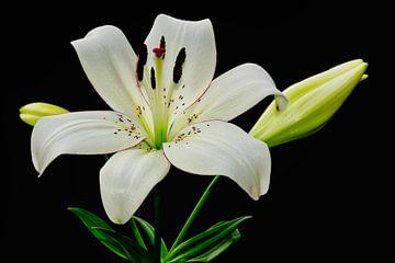 Große weiße Lilie in voller Blüte von J..M de Jong-Jansen