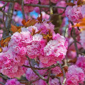 Prunus serrulata roze lente bloesem bol in april van JM de Jong-Jansen