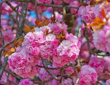 Prunus serrulata roze lente bloesem bol in april