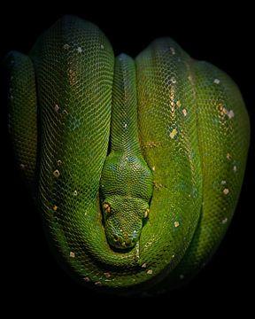 Arbre vert Python sur Patrick van Bakkum
