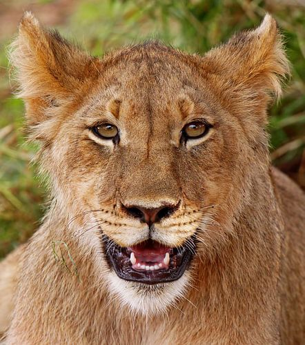 Young lion - Africa wildlife
