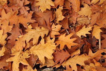 Herfst bladeren  (Amerikaanse eik) van Frans Roos