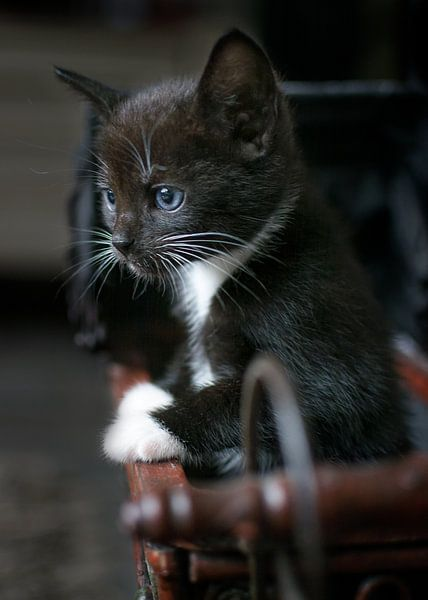 Kitten in poppenwagentje van Christa Thieme-Krus