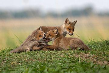spelende vosjes van gea strucks