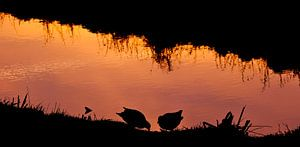 Waterhoentjes in avondlicht