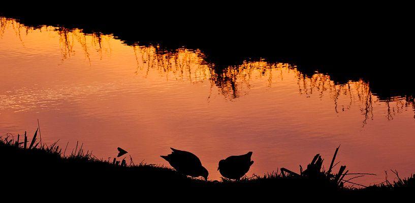 Waterhoentjes in avondlicht van CreaBrig Fotografie
