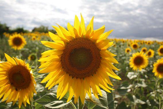 'Lichtgevende' zonnebloem van Marcel de Groot