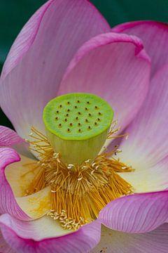 Lotus von ton vogels