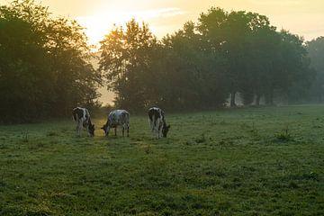 Koeien in de ochtendzon van Hessel de Jong