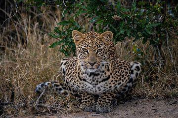 Leoparden-Blick von Andreas Jansen