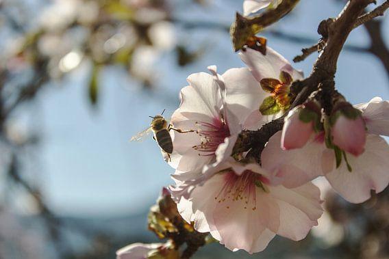 Amandelbloesem met honingbij van Herbert Seiffert