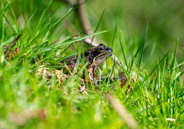 Frosch im Gras von der Seite von John Ozguc