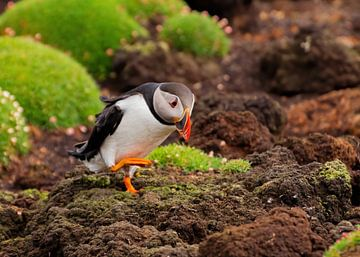 Papagaaiduiker van Merijn Loch