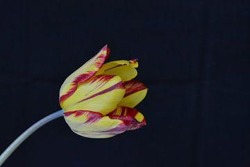 Tulp op zwarte achtergrond van