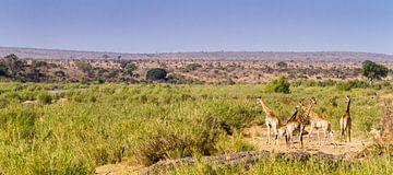 Giraffen op savanne van Jan van Kemenade