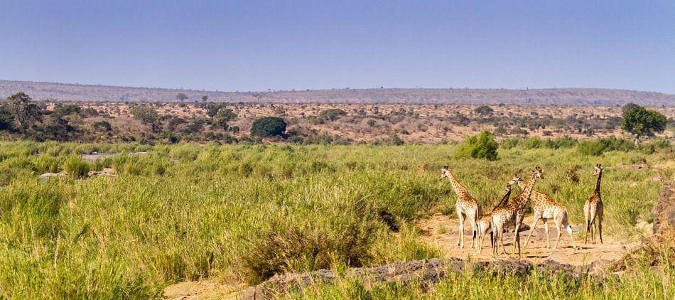 Giraffen op savanne
