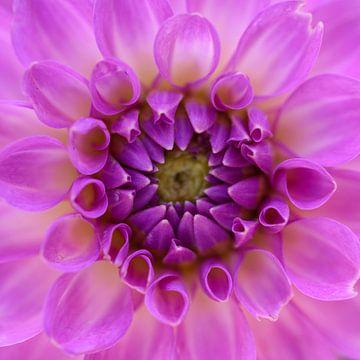 Purple von