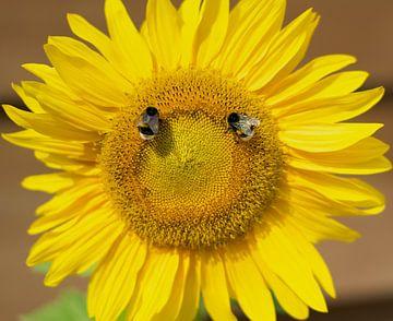 Sonnenblume mit 2 hungrigen Hummeln von Talitha Blok
