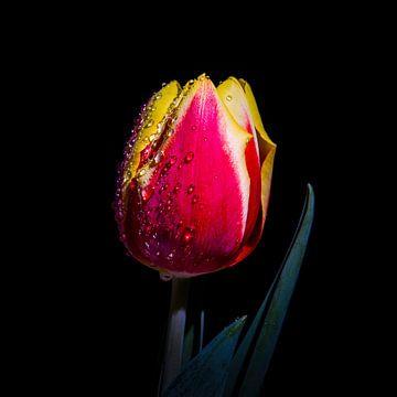 Rood gele tulp van Danny van de Graaf