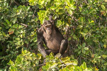 Schimpanse , Gambia von Peter Schickert