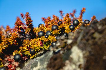 Mit Heidekraut und schwarzen Johannisbeeren bewachsene Felsen in Grönland von Martijn Smeets