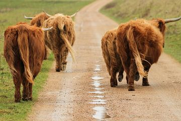 Schotse Hooglanders aan de wandel van rene marcel originals