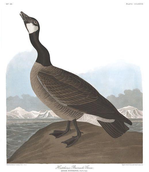 Zwergkanadagans von Birds of America