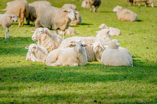 Jong schapen rustend in weiland.