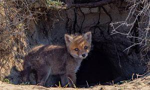 Jong vossenwelpje van