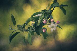 Appelbloesem van Regina Steudte | photoGina