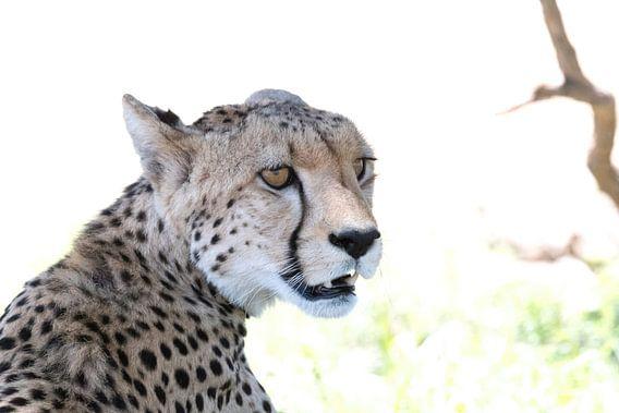 Cheetah/jachtluipaard! van Robert Kok