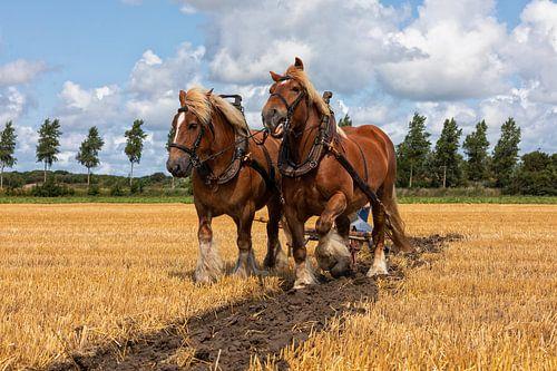 Stoppelveld traditioneel ploegen met trekpaarden van