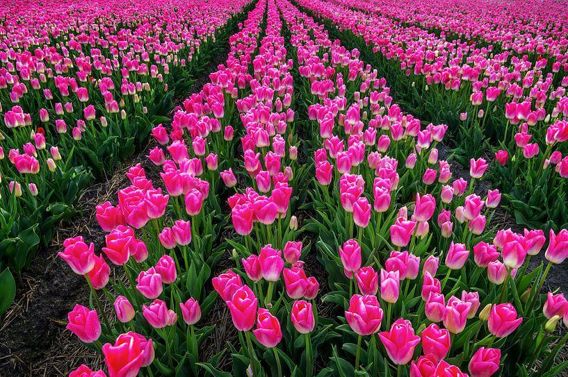 Pretty in pink sur Klaas Fidom