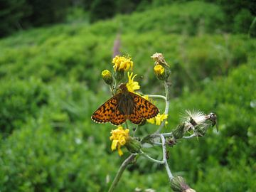 Een vlinder op een edelweijs bloem von Wilbert Van Veldhuizen